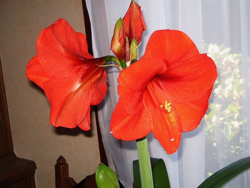 Amaryllis From Seed