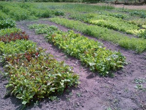 Growing greens and beets